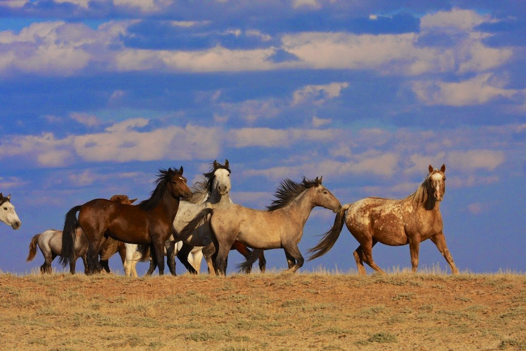 WY Wild Horses, Checkerboard, BLM, WH&B