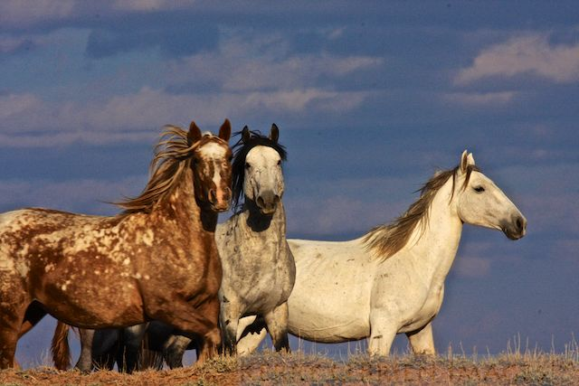 Wyoming checkerboard mustangs - Photography by Kerry O'Brien .