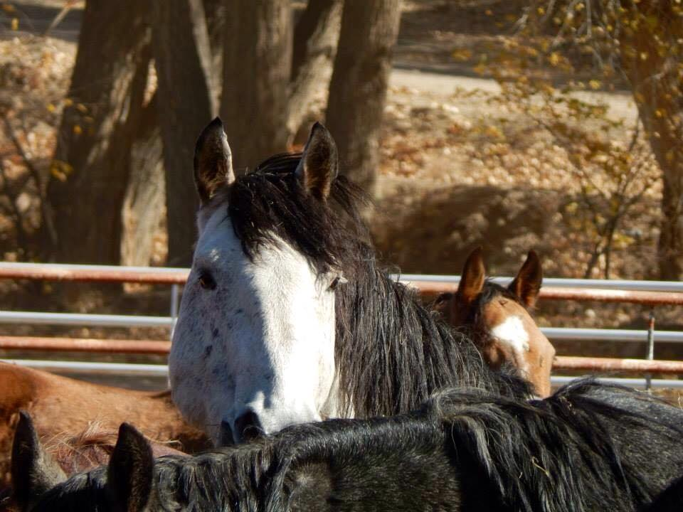 BLM Mustangs, Wyoming Checkerboard Wild horse - Photography by Kerry O'Brien