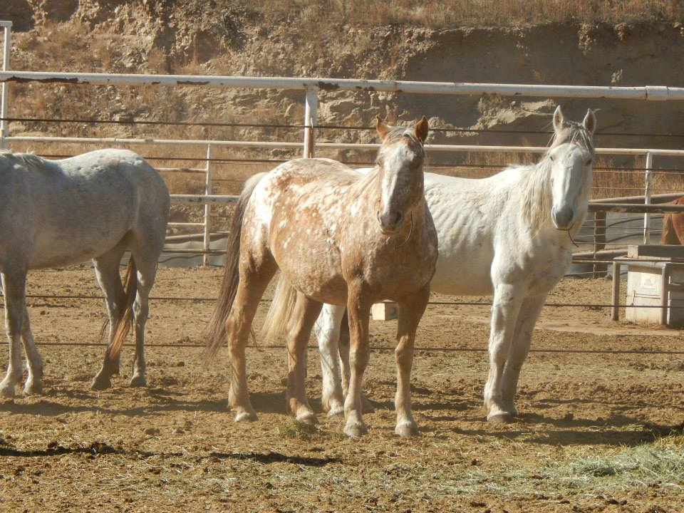 Salt Wells Creek wild horses, BLM, Canon City, CO