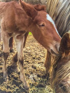 Wild mustang Shiloh delivers healthy foal