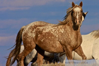 Shiloh, mustang, wild horses, Checkerboard - photography by Kerry O'Brien