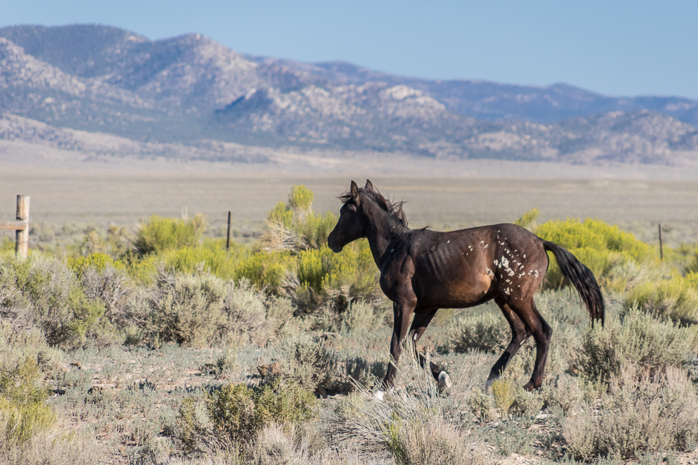 Separated Colt, NV-8918